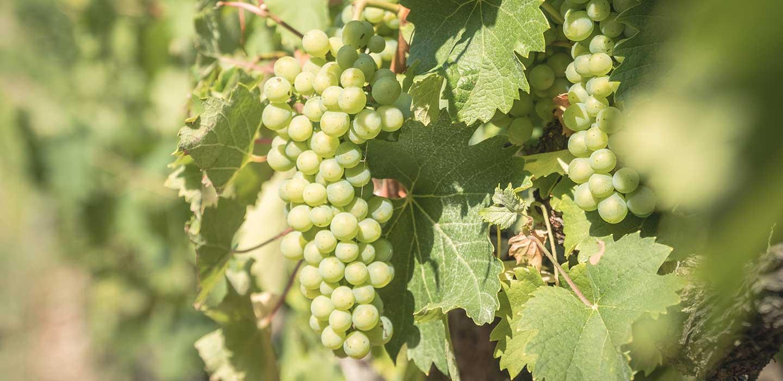 Vigne Marestel du Chateau de la Mar - Zoom sur une grappe